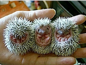 This is what baby Echidnas look like when they are just born. Now thats a prickly feeling.